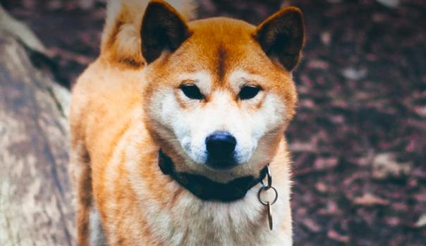 Dog looking at the camera